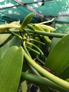 Pousse de vanille en Guadeloupe