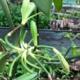 Plant de vanille en Guadeloupe